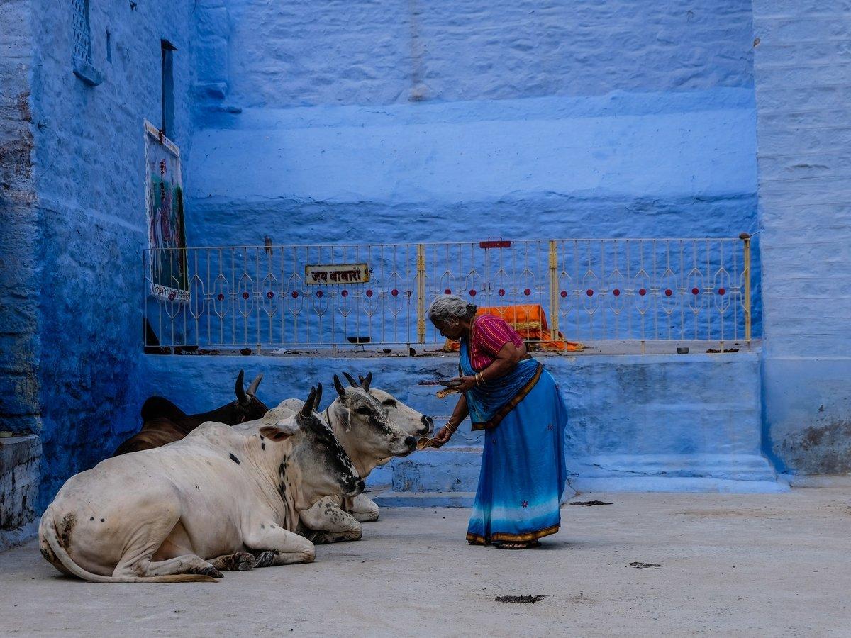 Улицы Индии заполонили беспризорные коровы. Никто не знает, что с ними делать