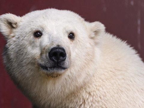Новая Земля в осаде: в населенные пункты пришли голодные злые медведи