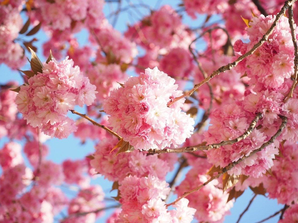 Как синоптики узнают, когда начнется цветение сакуры?