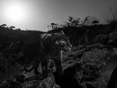 Африканского чёрного леопарда сумели сфотографировать впервые за 100 лет