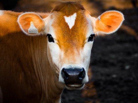 Тёлочки оценят: в Англии сделали Tinder для крупного рогатого скота