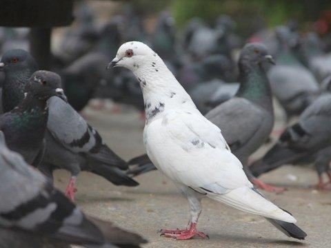 Китайцы потратили на аукционе больше миллиона евро и купили голубя