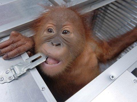 На Бали задержали россиянина — он хотел незаконно вывезти из страны орангутана