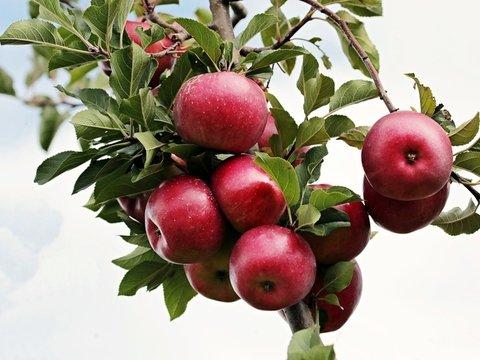 Впервые робот собирает яблоки в двумерном саду (видео)