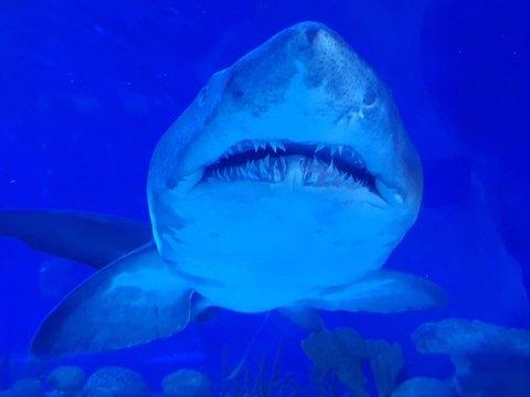 Австралиец поймал гигантскую акулу, которую съела другая гигантская акула (фото)