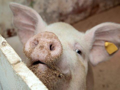 Учёные смогли оживить мозги мёртвых свиней. Спокойно, это не зомби-апокалипсис