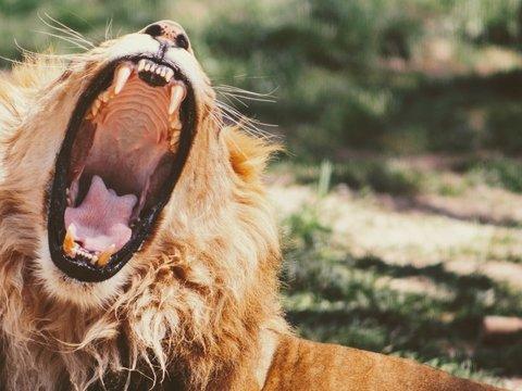 Король лев: в Кении нашли огромного льва с пастью собаки. Ему 22 миллиона лет
