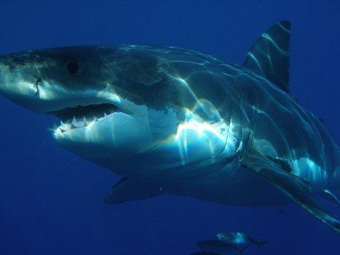Кого так боятся огромные белые акулы, что вынуждены покидать зоны обитания?