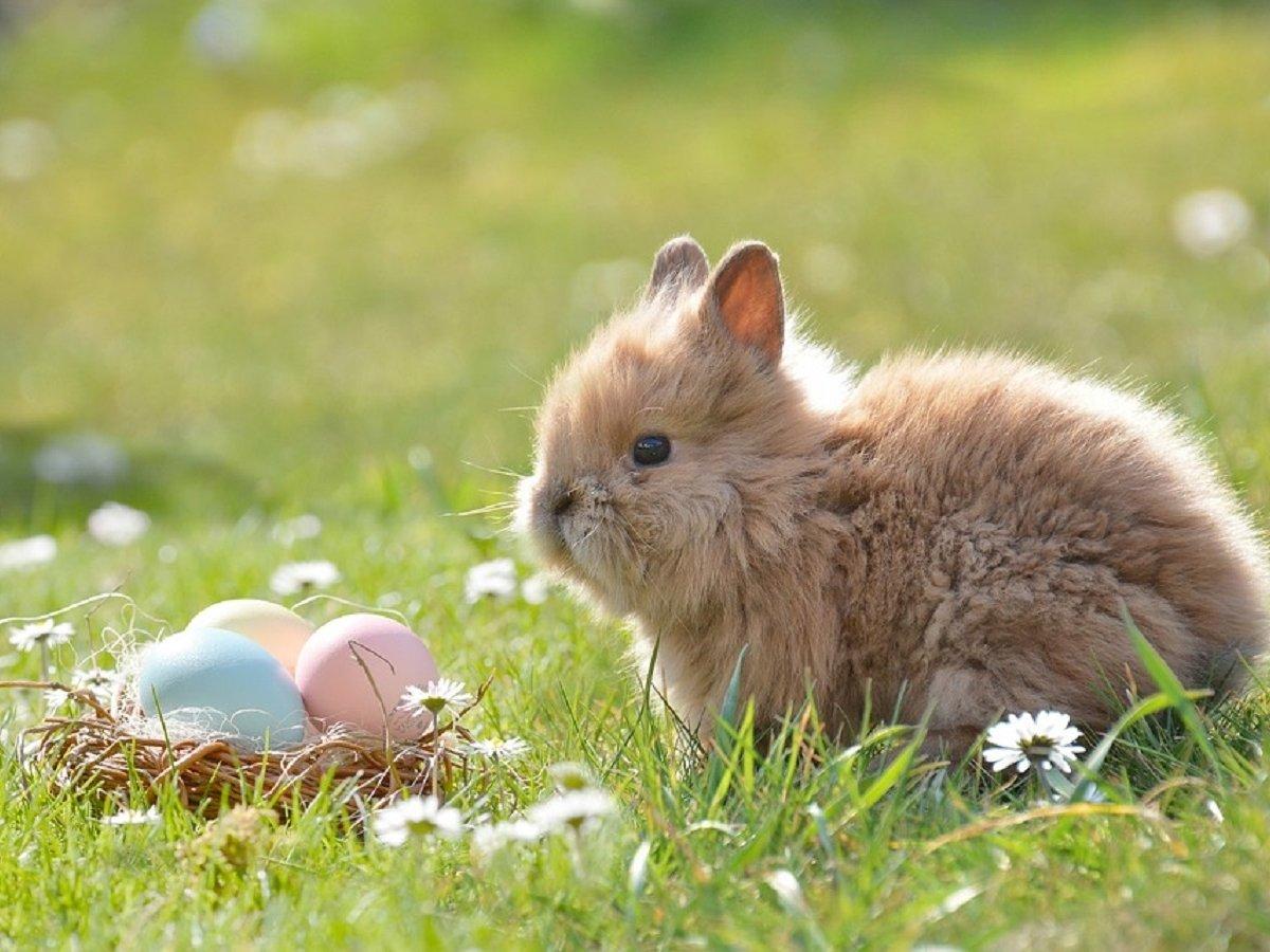 Откуда взялись кролики в Великобритании?