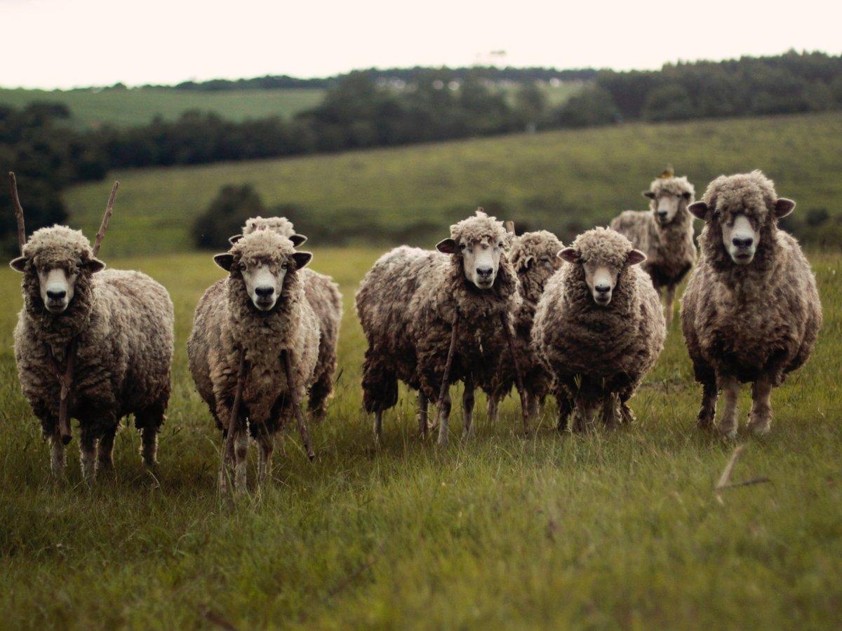 Чтобы школу не закрыли, фермер одолжил новых учеников — за парты сели овцы