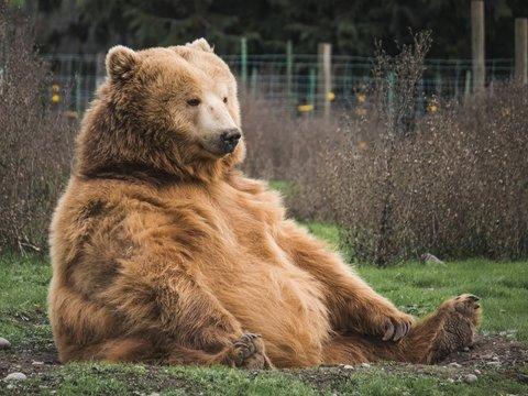 Медведица напала на овцу и собрала экстренный саммит Франции и Испании