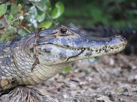К бабуле в гости заглянул 3-метровый аллигатор — он вломился в окно (видео)