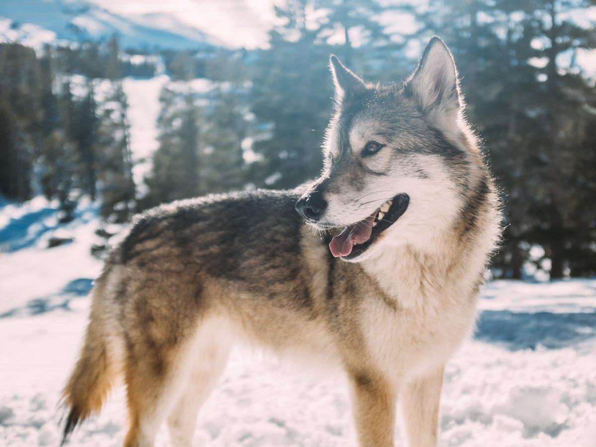 В Сибири нашли голову древнего волка, которому уже 40 000 лет (фото)