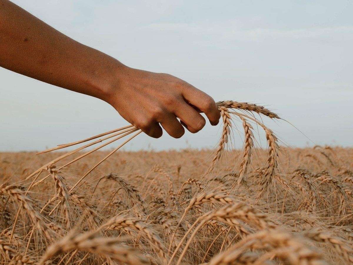 В Сирии хлеб стал оружием: курды и правительственный режим борются за пшеницу