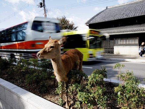 В японском городе Нара из-за туристов дохнут олени: они объедаются пакетами