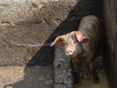 В Голландии из-за аномальной жары и сломанных кондиционеров погибли 2000 свинок