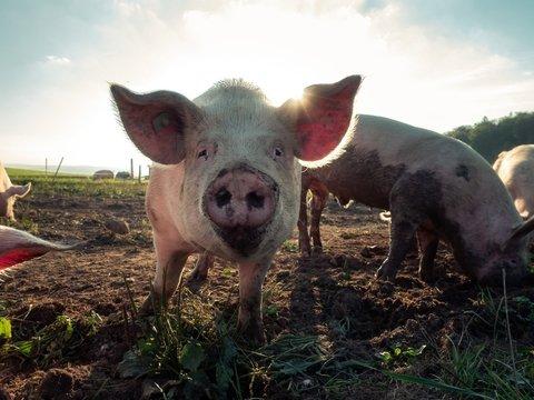 В Болгарии считают, что румынские туристы заразили местных свиней чумой