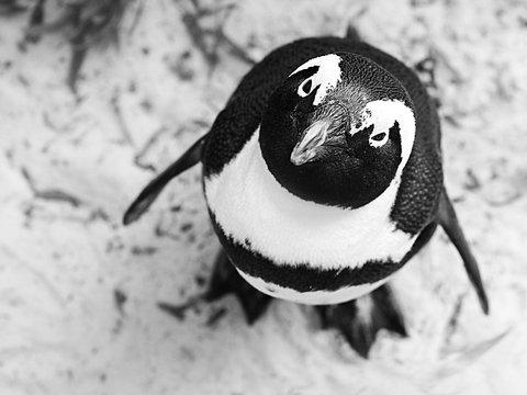 В Новой Зеландии нашли пингвина ростом со взрослого человека