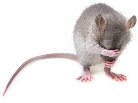 У млекопитающих нашёлся новый орган, ответственный за боль