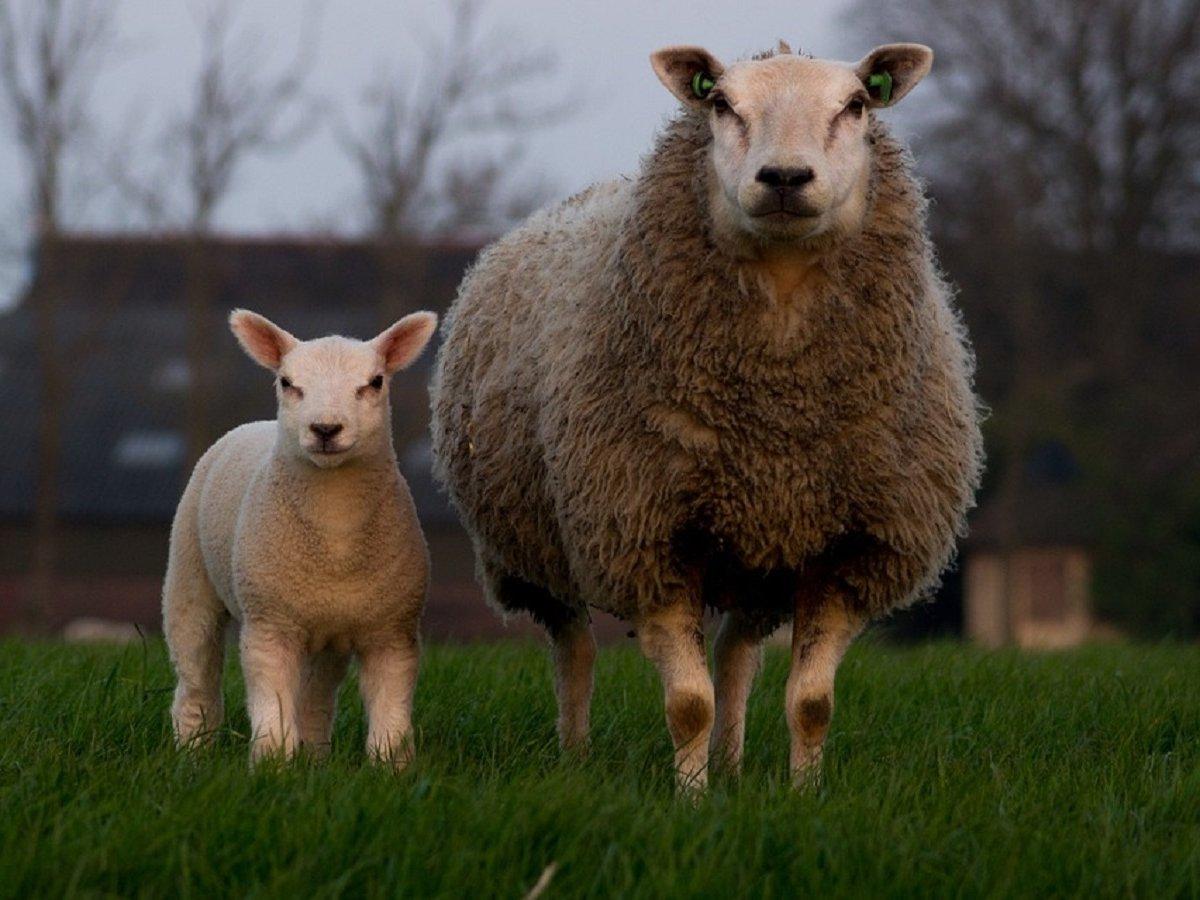 В Шотландии вывели стадо овец-мутантов ради исцеления человеческого мозга
