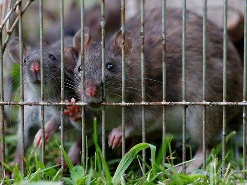 Пьяная смерть: в Нью-Йорке крыс топят в алкоголе