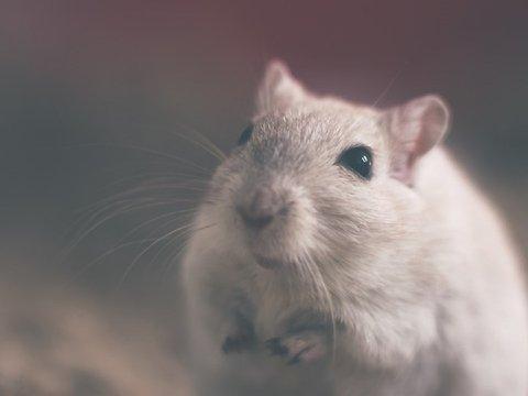 Кто не спрятался, я не виноват: учёные сыграли с крысами в прятки