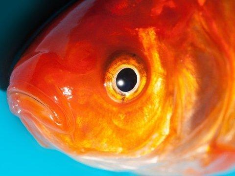 Британские ветеринары удалили опухоль у крошечной рыбки. Просто потому что могут