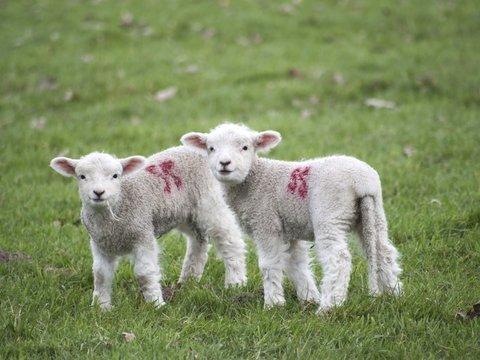 """Тепло и очень мило: покупатели """"усыновляют"""" овец, отдавших свою шерсть на свитер"""