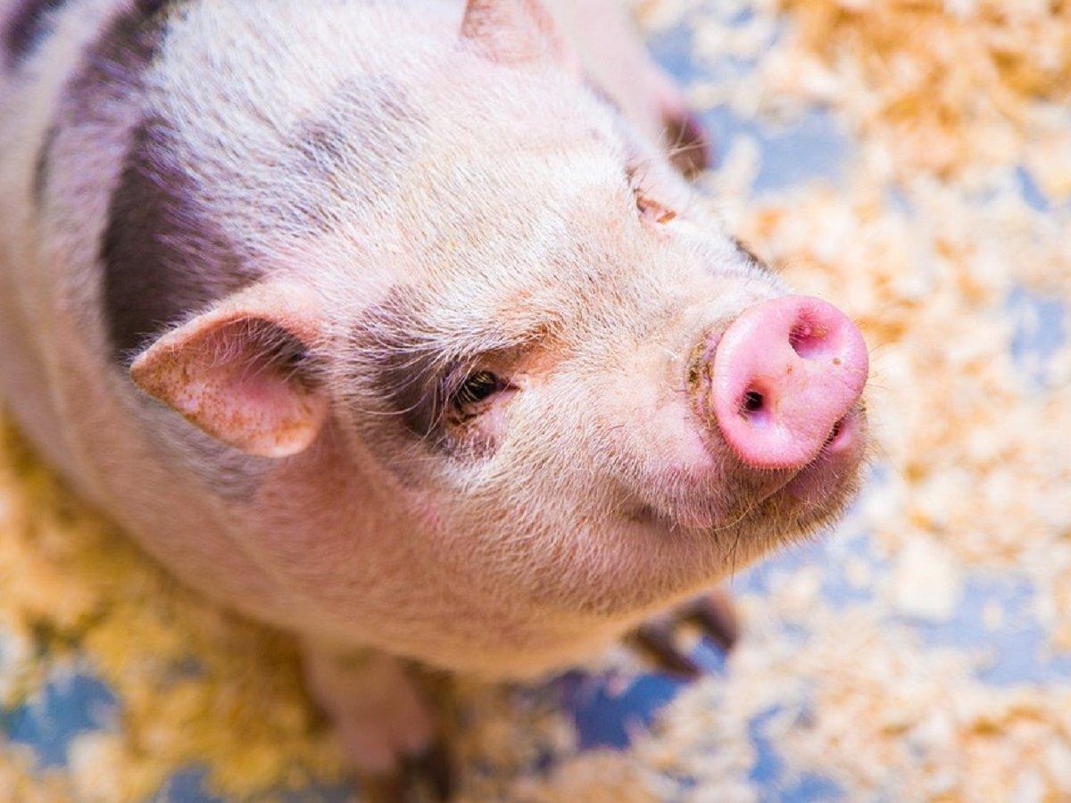 Подложил свинью: мужчина подарил жене мини-пига, но это оказался обычный хряк