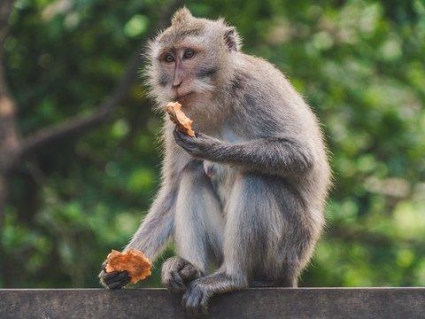 В Малайзии обезьяны превратились в хищников: защищая леса, они пожирают крыс