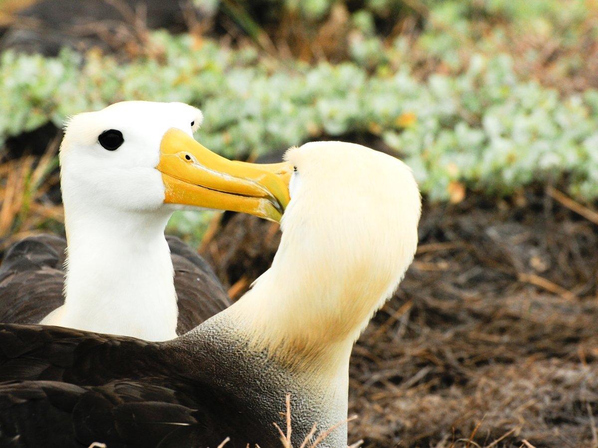 Хотел пожить для себя: самый одинокий альбатрос наконец нашёл себе пару