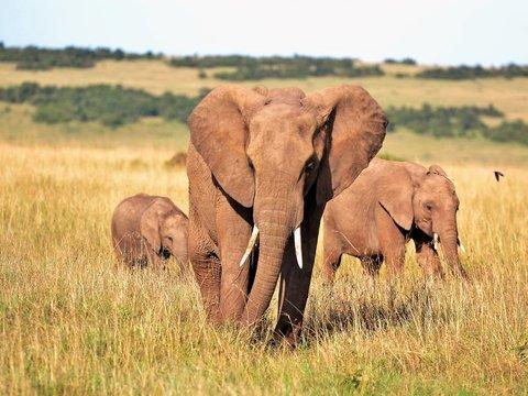Джин на слоновьем навозе: этот вкус Южной Африки точно не забыть