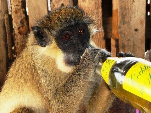Без алкоголя не было бы людей — спиртное спасло предков человека от вымирания