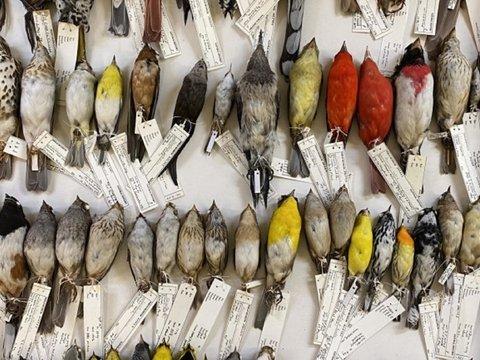 Орнитолог 40 лет собирал трупики птиц. Собрал 70 000 и понял, что птицы мельчают