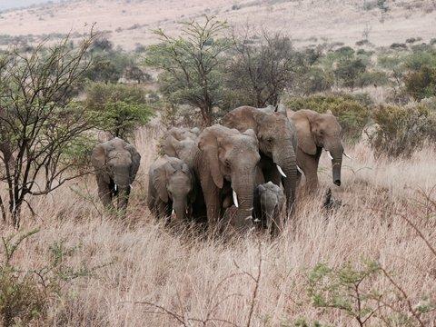 Слоны пришли в гостиницу пообедать. Но за столиками уже сидели люди (видео)