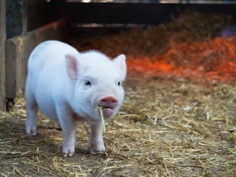 В Германии кастрируют крошек-поросят. Защищать свиное достоинство будут в суде