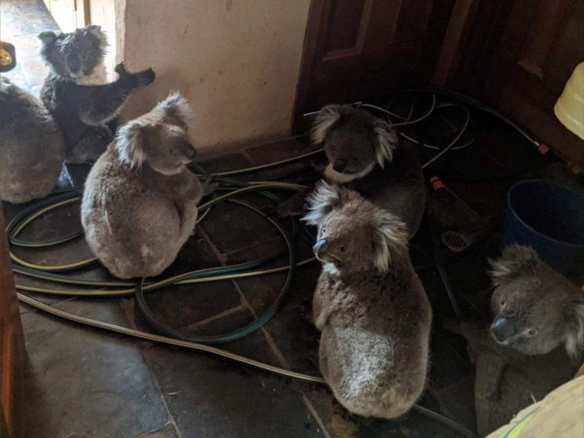 Из-за пожаров в Австралии погибли 30 процентов коал (фото+видео)