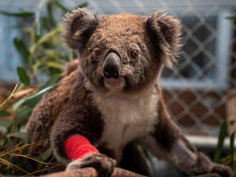 113 видов в опасности: Австралия оценивает ущерб от пожаров для дикой природы