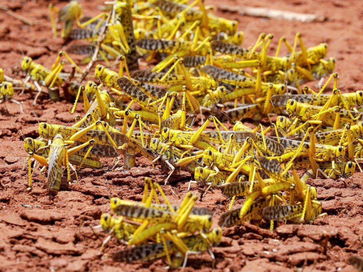 Африку объедает саранча. Откуда взялись рои насекомых и почему их не победить?