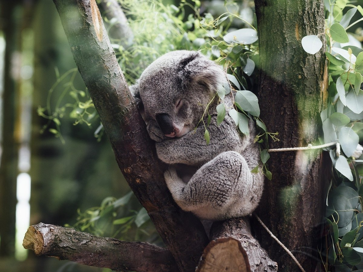 У коал после пожаров налаживается жизнь: их возвращают в леса