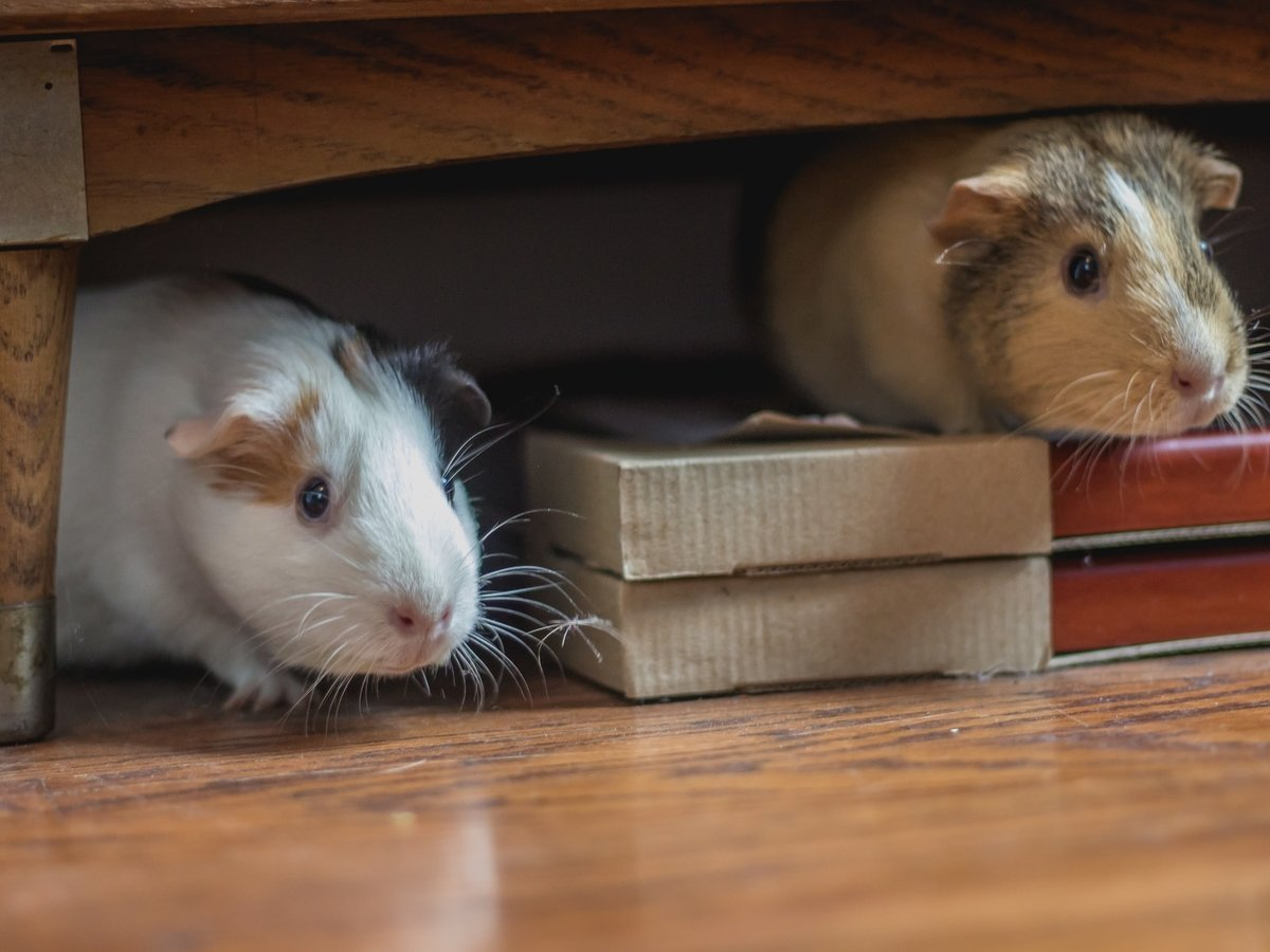 Из-за COVID-19 в США убьют лабораторных мышек — за ними больше некому ухаживать