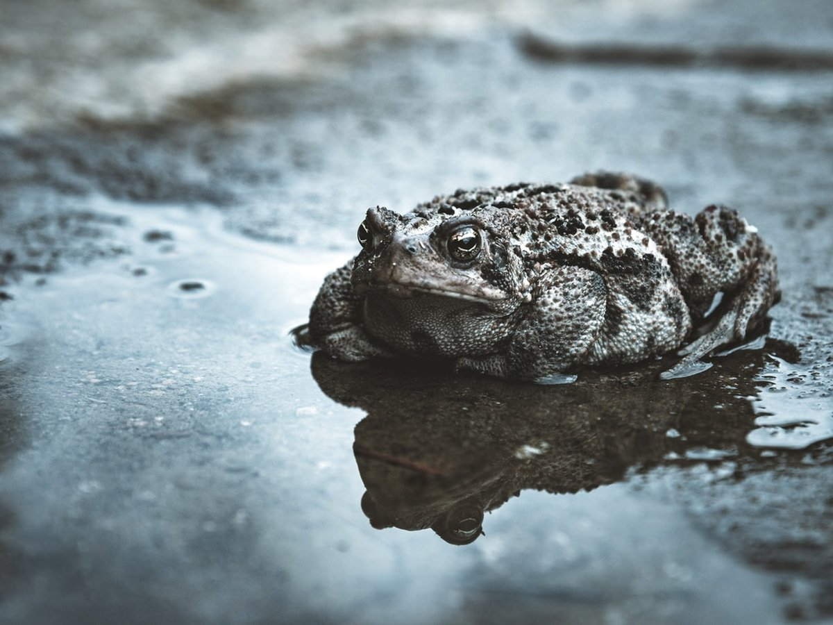 В США новая напасть — гигантские ядовитые жабы. Они опасны для кошек и собак