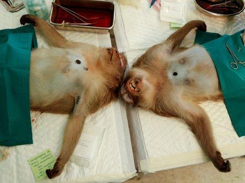 В Таиланде отлавливают голодных обезьян — их отправляют на массовую стерилизацию