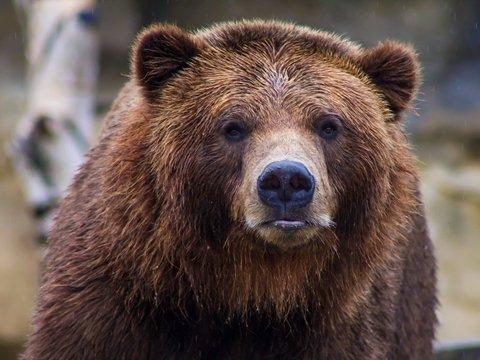В Италии напавшего на людей медведя ищут по кусочкам меха и ДНК
