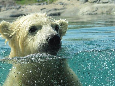 Белые медведи скоро исчезнут как вид: из-за изменения климата им нечего есть