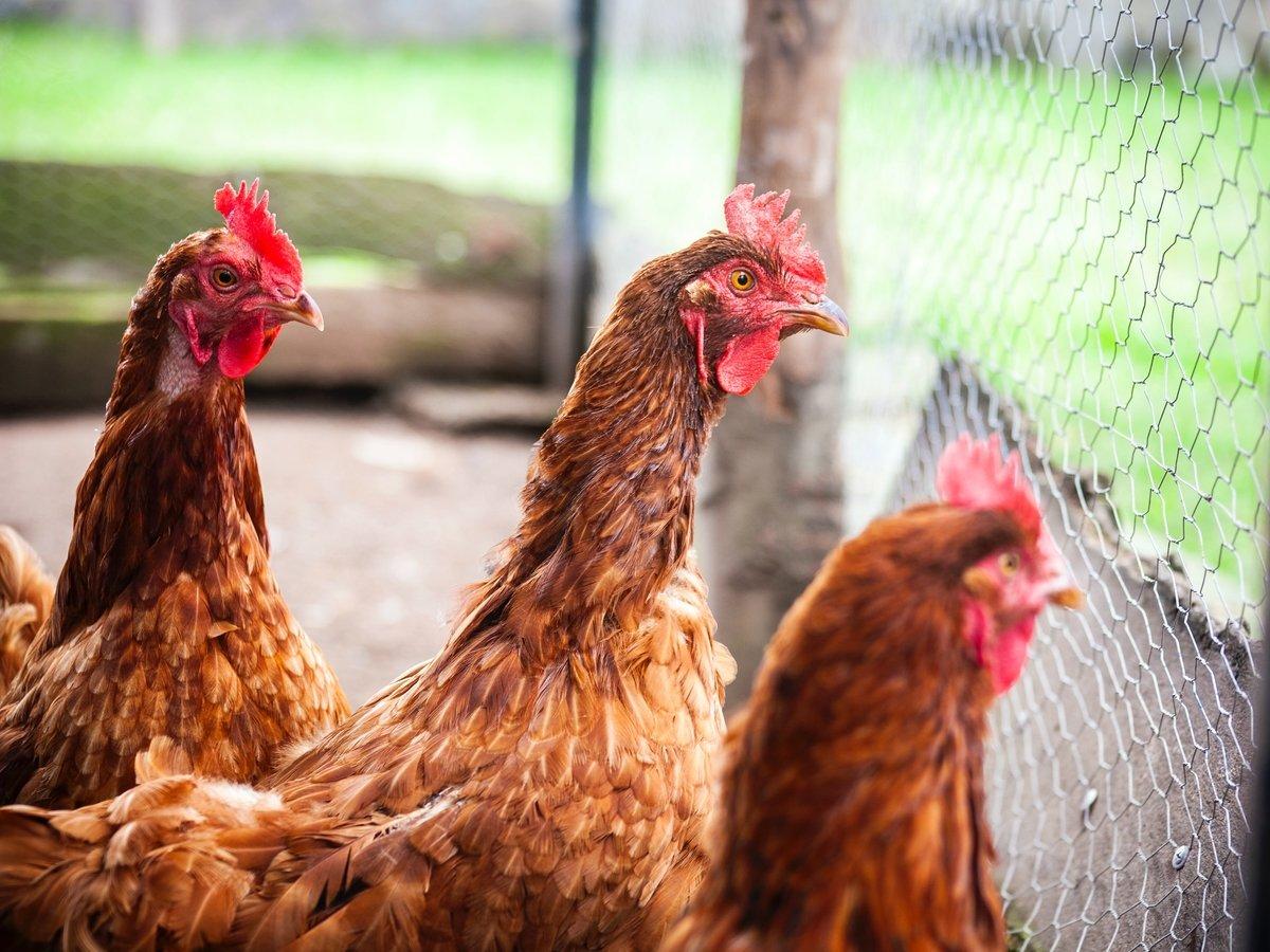Женщина-курица стала прорывом в психиатрии: почему люди становятся животными?