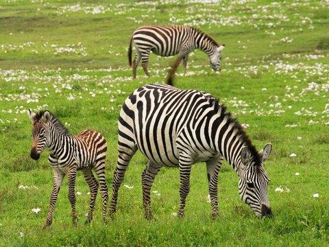 У травоядных животных риск вымирания выше, чем у хищников