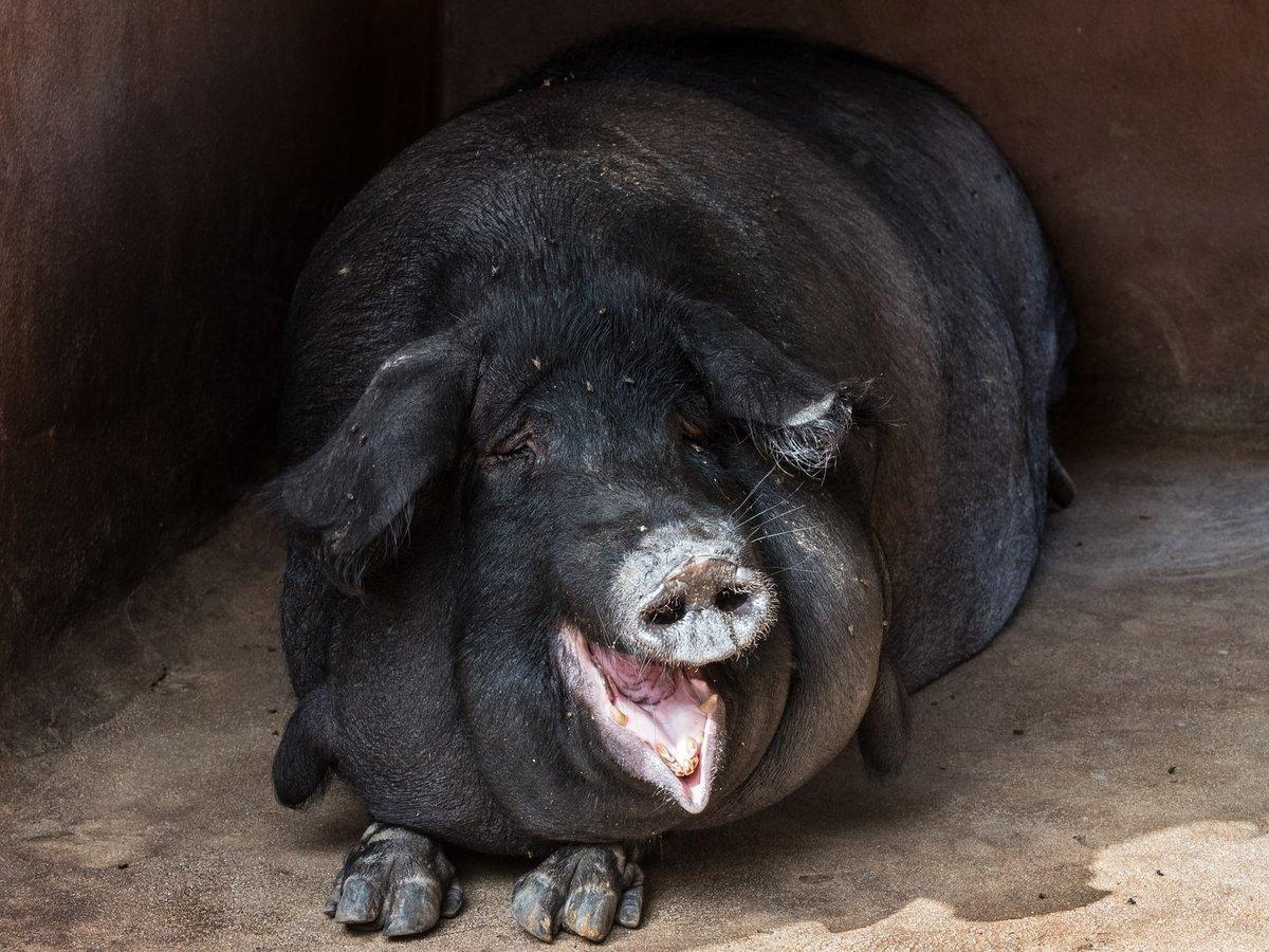 2020 всё веселее. В Германии выявили африканскую чуму свиней