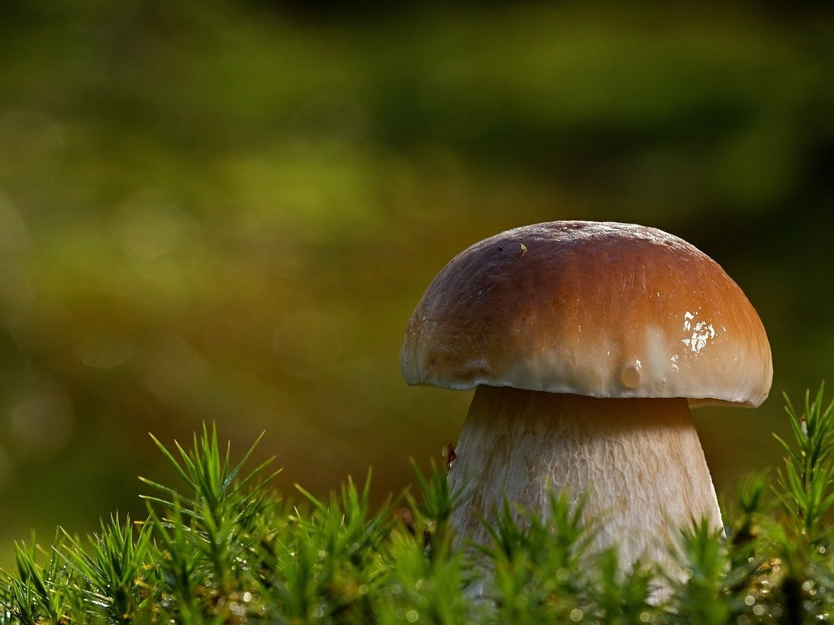 Любимый гриб японцев оказался под угрозой исчезновения