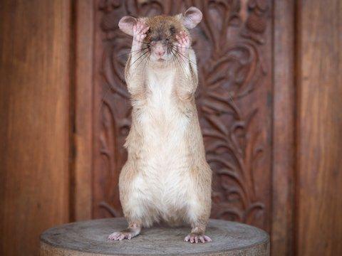 Гигантскую крысу наградили золотой медалью за храбрость в поиске мин (фото)